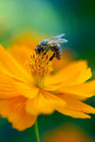 Biene auf einer Blume Stockfoto