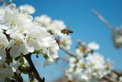 Biene auf einer Blume Stockbilder