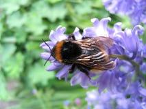 Biene auf einer Blume Stockfotografie