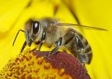 Biene auf einer Blume Stockfotos