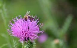 Biene auf einer Blume Lizenzfreies Stockfoto