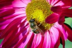 Biene auf einer Blume Stockbild
