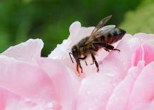 Biene auf einer Blume bestäubung Lizenzfreie Stockbilder