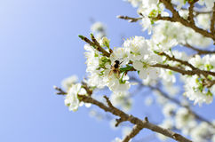 Biene auf einer Blume der weißen Kirschblüten Lizenzfreies Stockbild