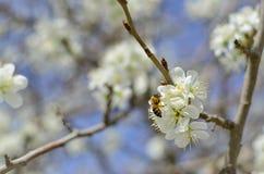 Biene auf einer Blume der weißen Kirschblüten Stockbild