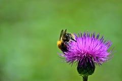 Biene auf einer Distel lizenzfreie stockfotografie