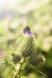 Biene auf einer Distel stockfoto