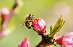 Biene auf einer Frühlingsrosablume Stockfoto