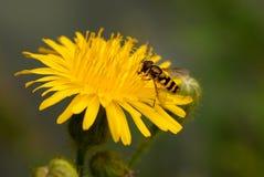 Biene auf einer gelben Blume lizenzfreies stockfoto