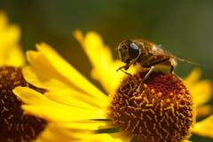 Biene auf einer gelben Blume Lizenzfreie Stockfotos