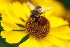 Biene auf einer gelben Blume Stockfotografie