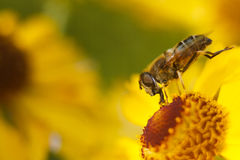 Biene auf einer gelben Blume Stockbild