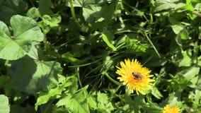 Biene auf einer gelben Blume stock video