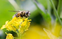 Biene auf einer gelben Blume, ein Abschluss oben Stockfotos