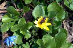 Biene auf einer gelben Blume an einem sonnigen Tag des Frühlinges Stockbild