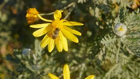 Biene auf einer Kamille stock video footage