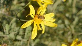 Biene auf einer Kamille stock video