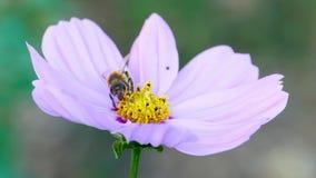 Biene auf einer Kosmosblume stock video