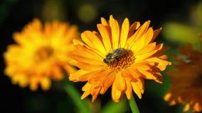 Biene auf einer orange Ringelblume stock footage