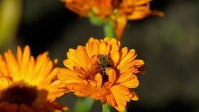 Biene auf einer orange Ringelblume stock video