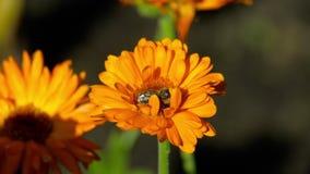 Biene auf einer orange Ringelblume stock video footage
