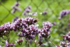 Biene auf einer Oreganoblume Lizenzfreie Stockfotos