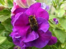 Biene auf einer Petunienblume Stockfoto