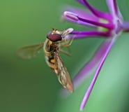Biene auf einer purpurroten Blume Stockfoto