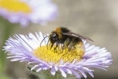 Biene auf einer purpurroten Blume lizenzfreies stockfoto