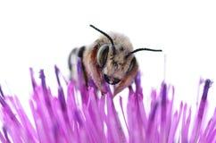 Biene auf einer purpurroten Distel-Blume lizenzfreie stockfotos