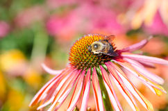 Biene auf einer rosa Echinaceablume Stockbilder