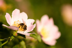 Biene auf einer Rose Vektor Abbildung