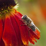 Biene auf einer roten Blume Stockfotos