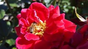 Biene auf einer roten Rose Stockfoto