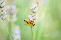 Biene auf einer schönen Blume Stockfoto