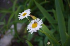 Biene auf einer schönen weißen Blume lizenzfreie stockfotografie