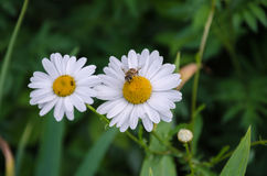 Biene auf einer schönen weißen Blume stockfotos