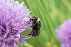 Biene auf einer Schnittlauchblume Stockfoto