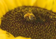 Biene auf einer Sonnenblume Lizenzfreie Stockbilder