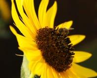 Biene auf einer Sonnenblume Stockfotos