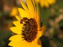 Biene auf einer Sonnenblume Stockbild