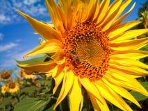 Biene auf einer Sonnenblume Lizenzfreies Stockfoto