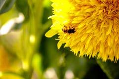 Biene auf einer Sonnenblume lizenzfreie stockfotos