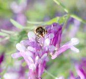Biene auf einer violetten Blume, Makro Stockfotografie