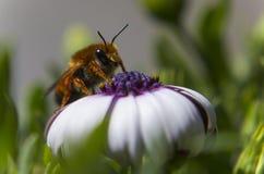 Biene auf einer weißen Blume Stockbilder