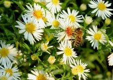 Biene auf einer weißen Blume in Deutschland stockfotos