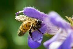 Biene auf einer weisen Blume Stockfotografie