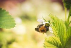 Biene auf Erdbeerblume Lizenzfreie Stockfotos