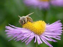 Biene auf Erigeron Lizenzfreies Stockbild