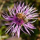Biene auf farbiger Blume Stockfotos